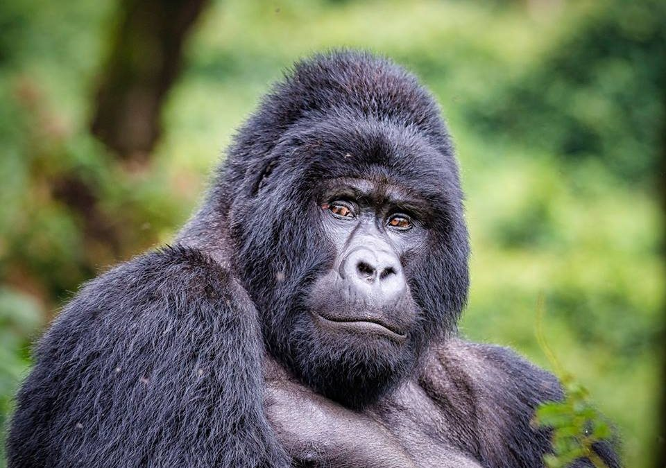 How much does a silverback gorilla weigh?